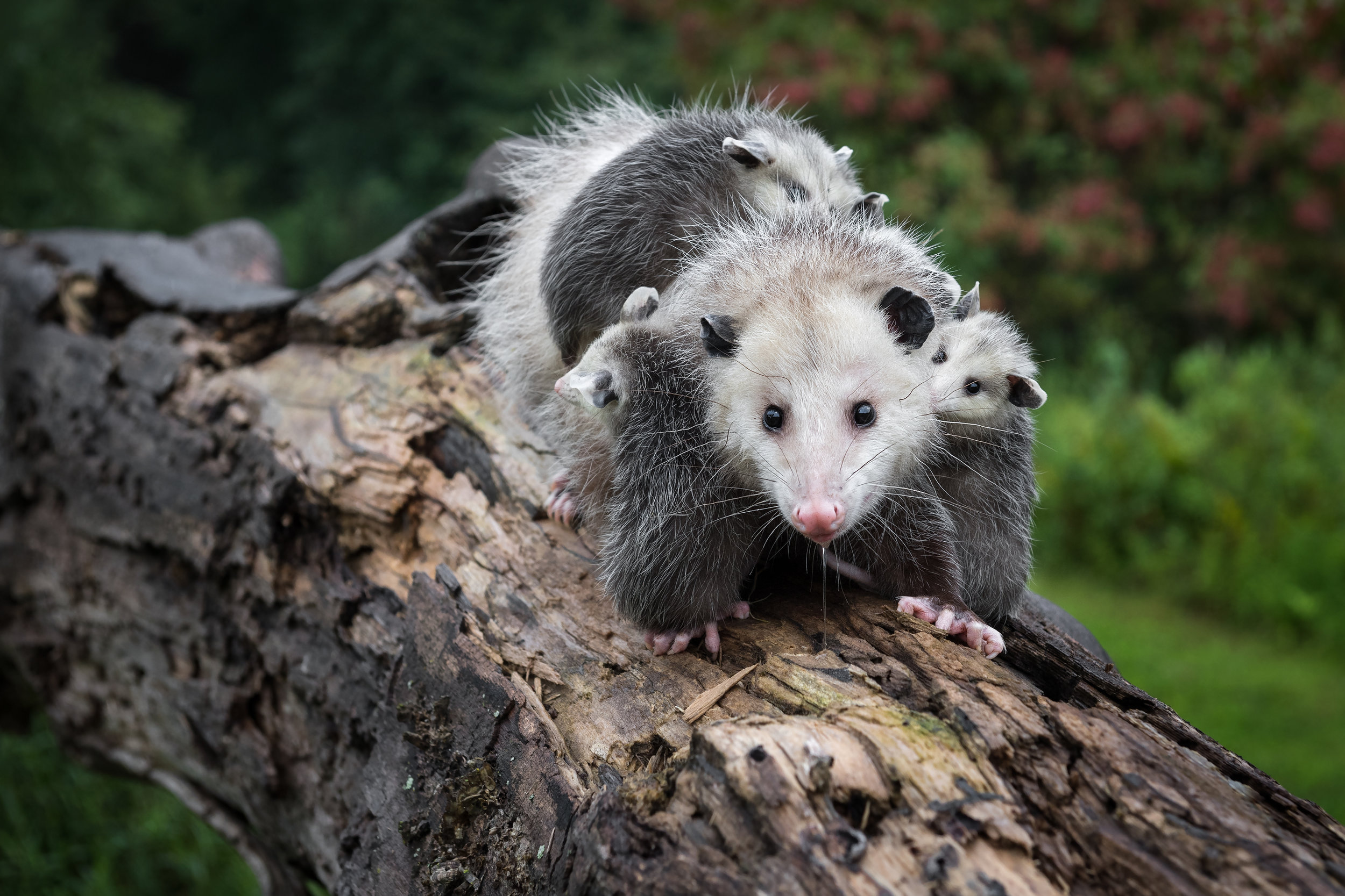 Drooling Opossum (Didelphimorphia) Carries Her Joeys Across Log