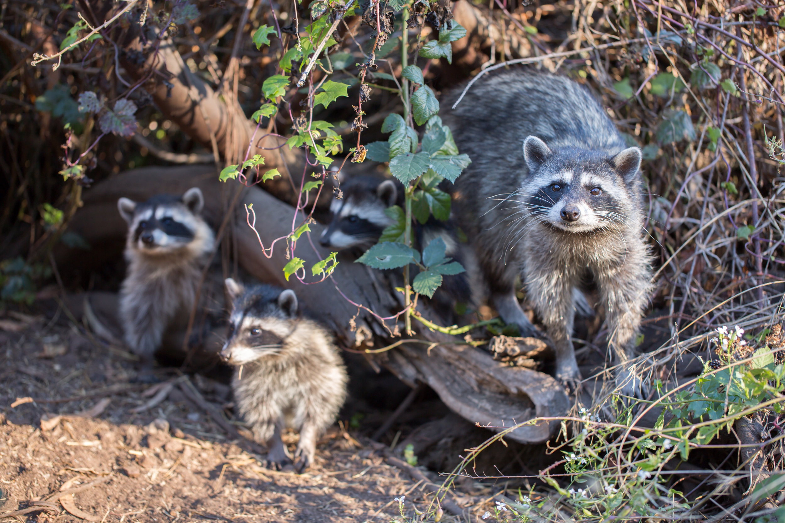 Raccoon (Procyon lotor) family eating berries. San Bruno Mountain State Park, San Mateo County, California, USA.