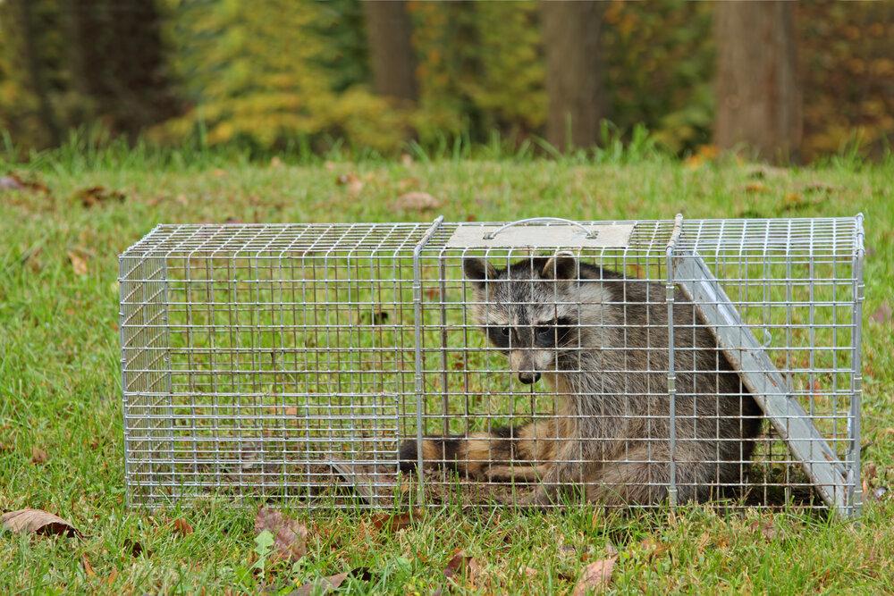 raccon-trap