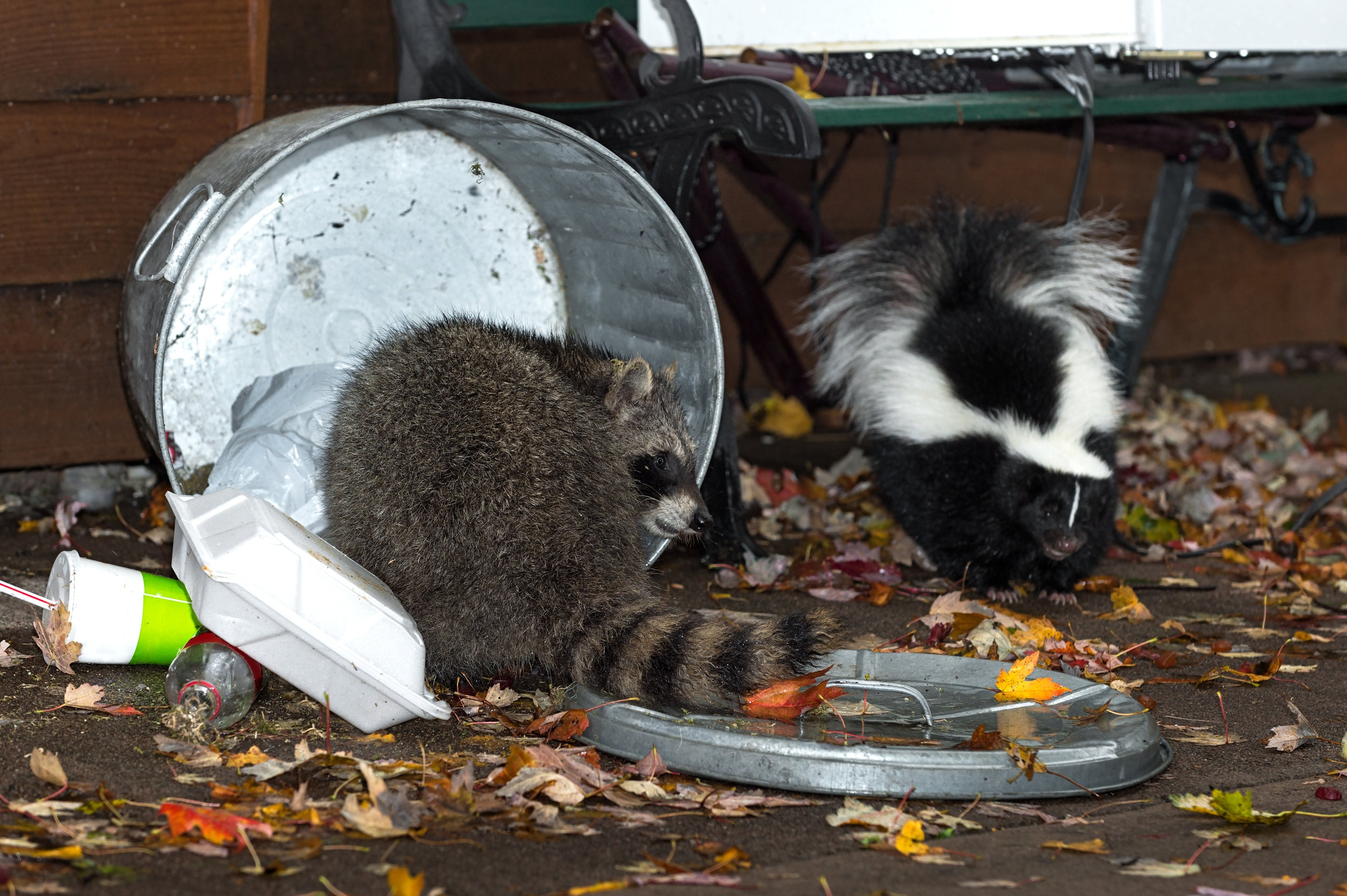 raccoon-skunk-trash