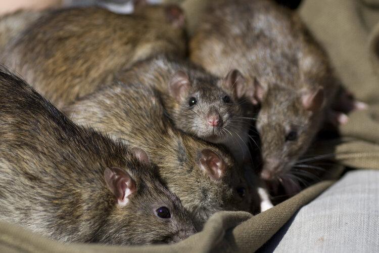 rat-colony