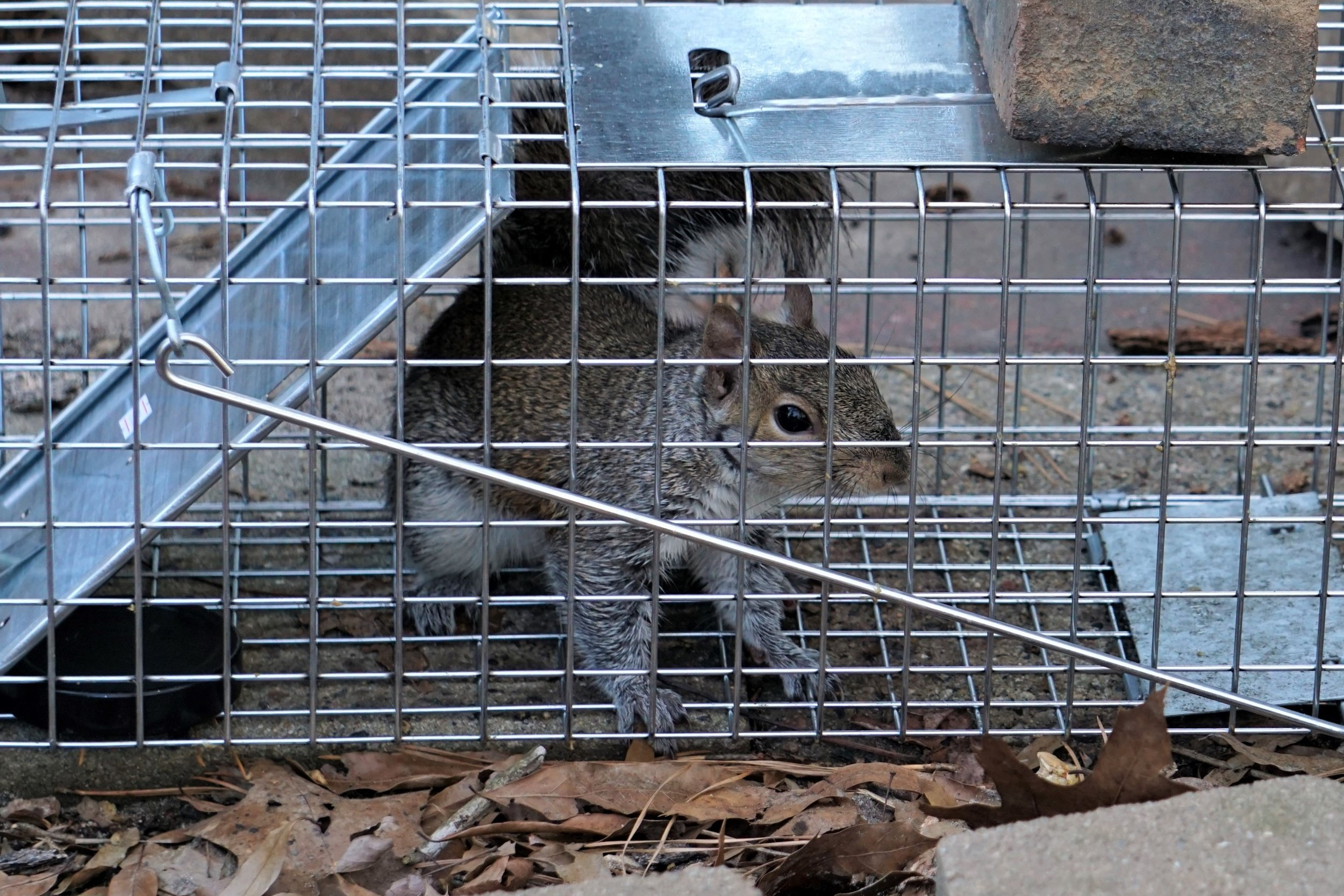 Squirrel caught in a live trap